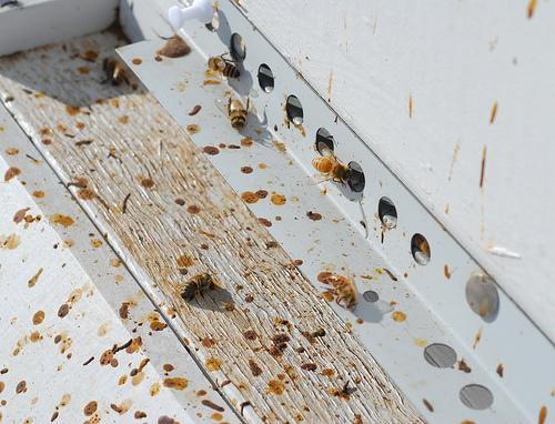 Bolile şi dăunătorii familiilor de albine