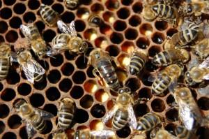 Afacere cu albine pentru intermediari